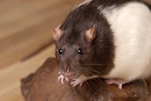 Audrey, a brown hooded rat. - Photo #5953