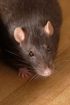Brown self rat. - Photo #5895