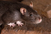 Brown self rat. - Photo #5900