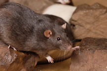 Brown self rat. - Photo #5947