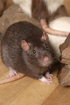 Brown self rat. - Photo #5973