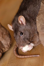 Brown self rat eating a treat. - Photo #5912