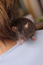 Brown self rat perched on her owner's sholder. - Photo #5951