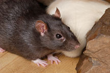 Brown self rat. - Photo #5948