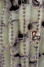 Scarring on cactus. - Photo #5576