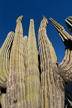 Pictures of Pachycereus