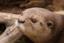 Spotted necked otter, Lutra maculicollis. - Photo #5380