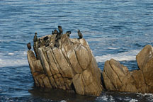 Cormorants sitting on rocks. Monterey, California, USA. - Photo #5102