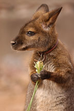 Bennett's wallaby. Red-necked wallaby. Micropus rufogiseus. - Photo #5434