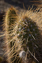 Pictures of Echinopsis