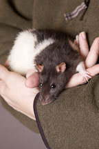 Dil, a female hooded rat. - Photo #5808