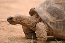 Galapagos tortoise. - Photo #5383