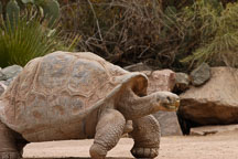 Galapagos tortoise walking. - Photo #5387