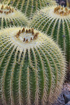 Pictures of Echinocactus