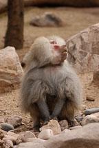 Hamadryas baboon, Papio hamadryas. - Photo #5375