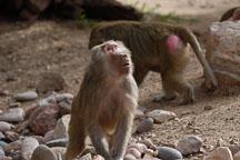 Hamadryas baboon, Papio hamadryas. - Photo #5373