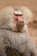 Hamadryas baboon, Papio hamadryas. - Photo #5379