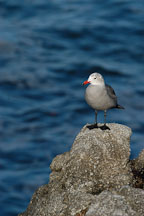 Heermann's gull perched on a rock. Monterey, California, USA. - Photo #5099