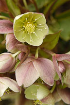 Helleborus x sternii. - Photo #5744