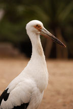 Maguari Stork, Ciconia maguari. - Photo #5418