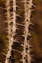 Ocotillo, Fonquieria splendens. - Photo #5284