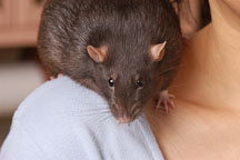Brown self rat on her owner's shoulder. - Photo #5966
