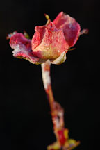 Rose, Awakening. - Photo #5218