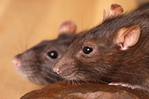 Two brown hooded rats. - Photo #5935