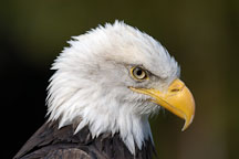 Bald eagle, Haliaeetus leucocephalus. - Photo #2507