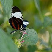 Crimson-Patch Longwing. Heliconius erato. - Photo #2407