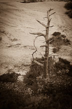 Withered tree. Torrey Pines State Reserve. San Diego, California. - Photo #26207