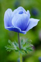 Anemone - Photo #11970