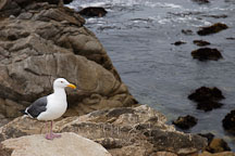 Western gull. Larus occidentalis. 17-Mile drive, California, USA. - Photo #4770