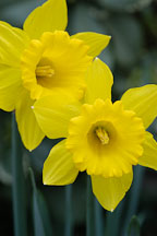 Narcissus, Daffodil. - Photo #2870