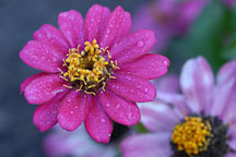 Zinnia elegans, 'Profusion Cherry'. - Photo #2070