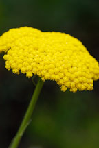Achillea filipendula. - Photo #4271