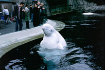 Beluga whale looks at the visitors. Delphinapterus leucas. Captive. Vancouver, British Columbia, Canada. - Photo #71