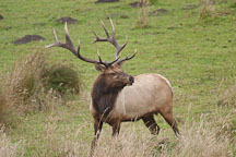 Male Tule Elk at Tomales Point. Point Reyes National Seashore, California. - Photo #1771