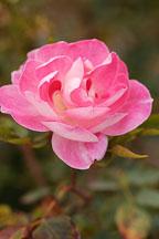 Rose 'Carefree wonder' - Photo #4971