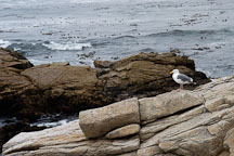 Western gull. Larus occidentalis. 17-Mile drive, California, USA. - Photo #4771