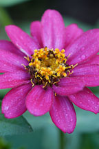 Zinnia elegans, 'Profusion Cherry'. - Photo #2071