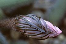 Flowering cactus. - Photo #1272