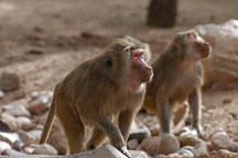 Hamadryas baboon, Papio hamadryas. - Photo #5372