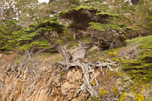 Old Veteran Cypress tree. Point Lobos, California. - Photo #26972