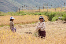 Women harvesting rice in Sopsokha, Bhutan. - Photo #23572