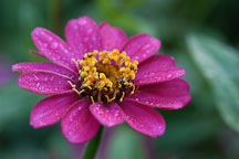 Zinnia elegans, 'Profusion Cherry'. - Photo #2072