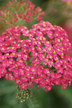 Achillea filipendulina. Garden hybrids - Photo #4973