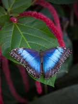 Blue Morpho butterfly. - Photo #32373