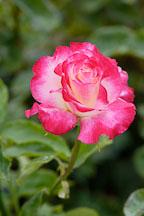 Rose 'double delight'. Rosa - Photo #4273