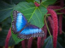 Morpho peleides, Blue Morpho - Photo #32374